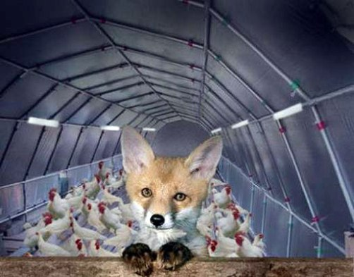 fox-guarding-the-hen-house